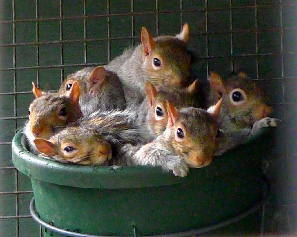 Squirrel infestation