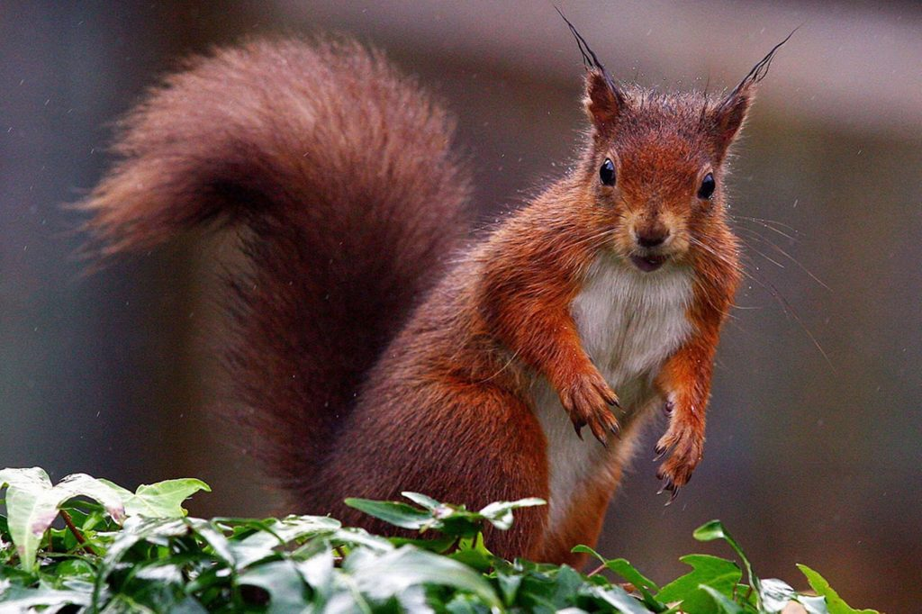 Red squirrel with crazy ears
