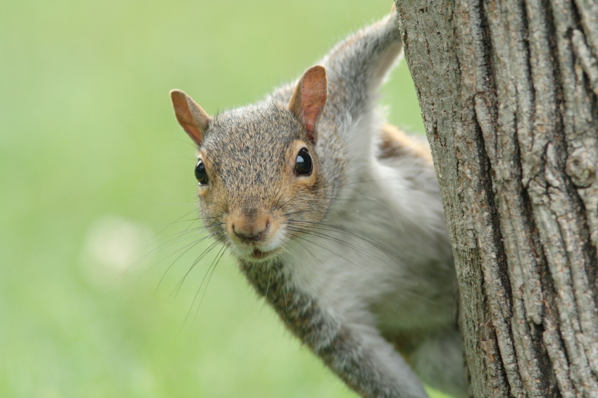 Kill squirrels to prevent infestations