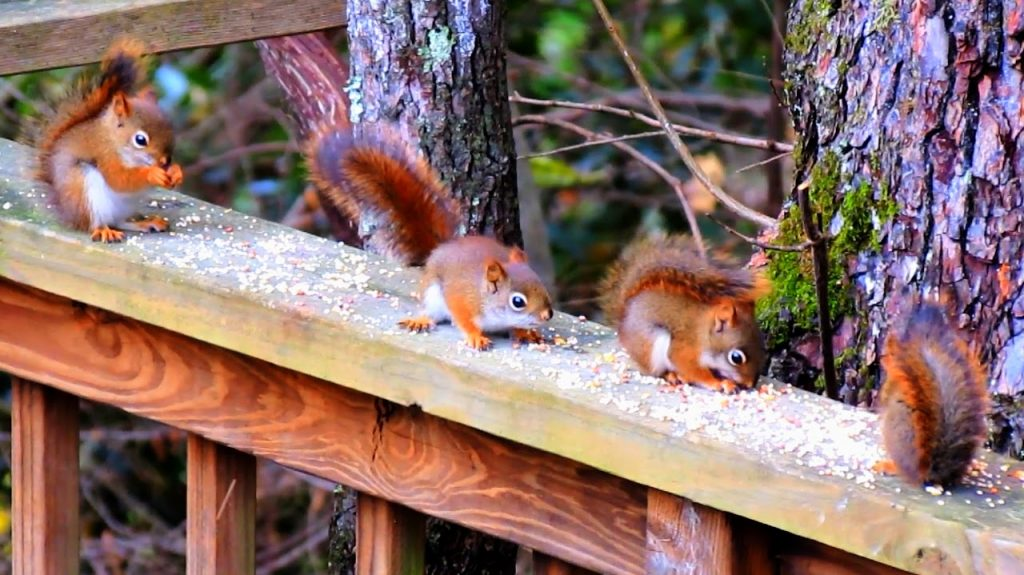 Red squirrels eating