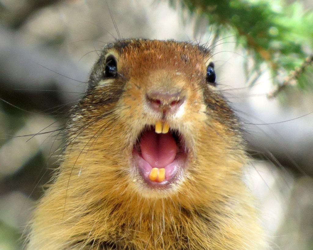 squirrel teeth