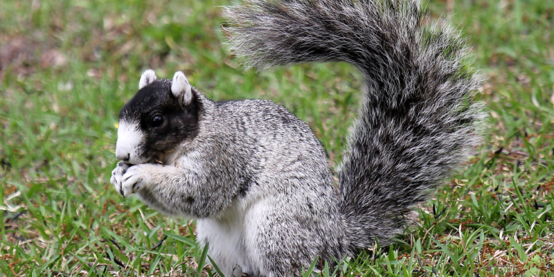 Squirrel with impressive tail