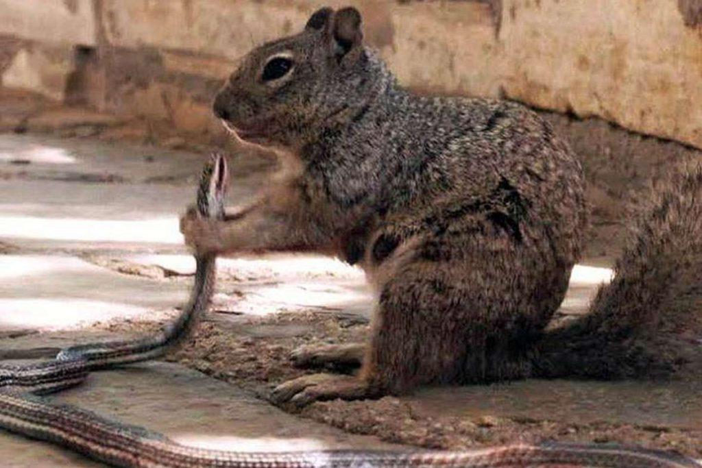 squirrel eating snake