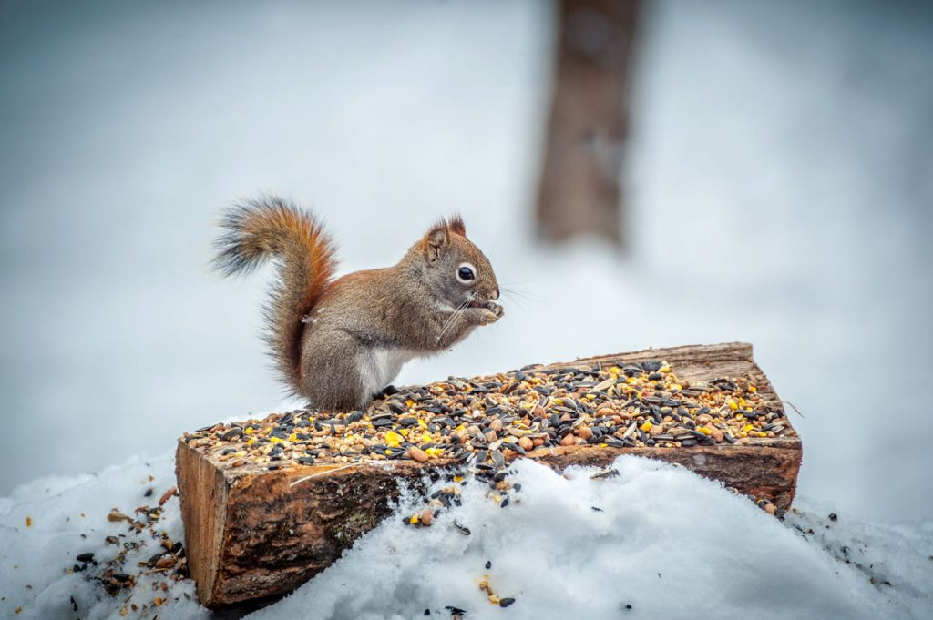 Squirrels love nuts & seeds. Look for them to kill squirrels with a pellet gun.