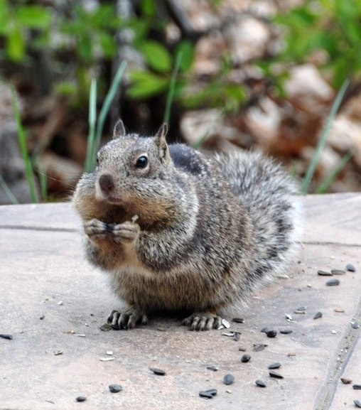 squirrel with full teeth