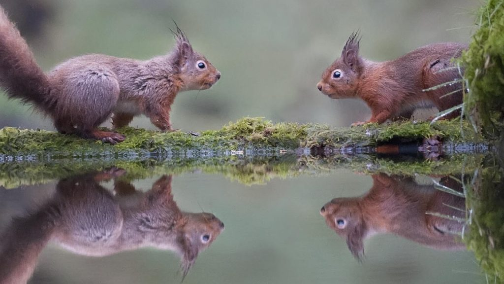 two squirrels looking to mate